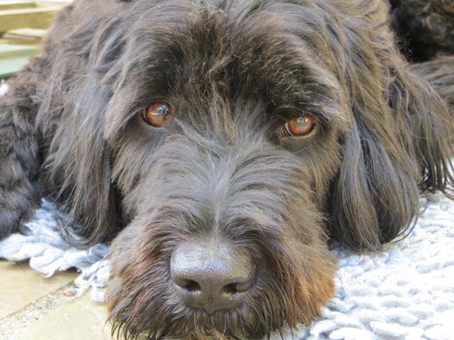 Portuguese Water Dog Figo